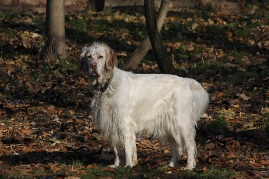 Beautiful and proud  English setter posing in the forest