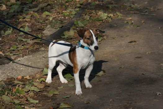 Beautiful Jack Russell Terrier posing in the forest of public park