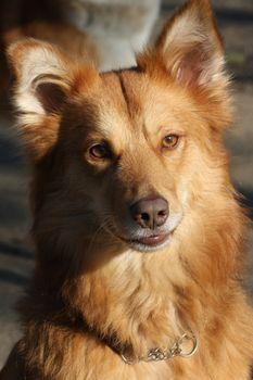 Portrait of beautiful redheaded mongrel dog