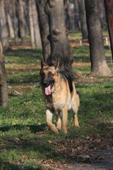 Beautiful German Shepherd  proudly walking  in public park