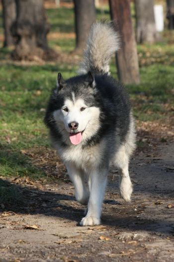 Beautiful  aged Alaskan Malamute proudly walking in the forest