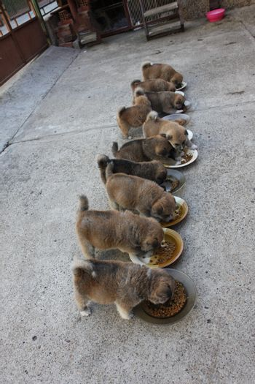 Ten luscious Akita Inu puppies eating in the courtyard