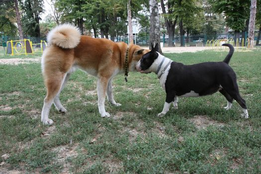 Bull Terrier and Akita Inu loitering in dog park