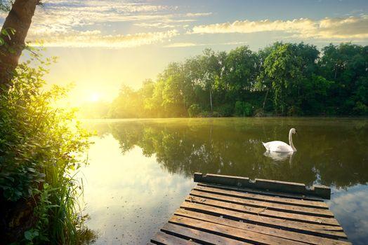 Graceful swan on river