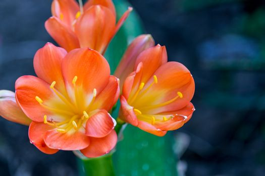 Spring, the oranges yellows flowers on succulent