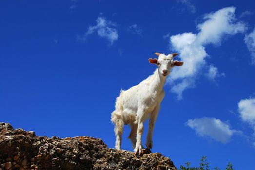 White goat over blue sky