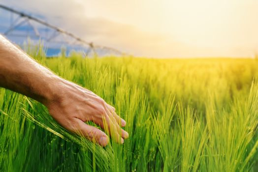Farmer touching green wheat plants in cultivated field