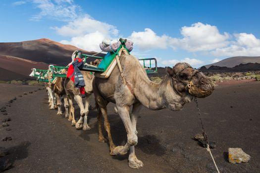 Camel caravan in Timanfaya National Park