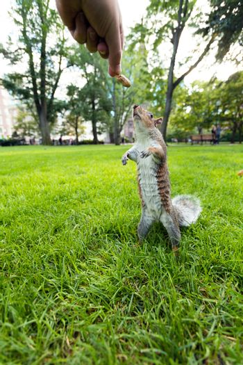 Feeding a wild squirrel a peanut in a public park located in Boston Massachusetts.