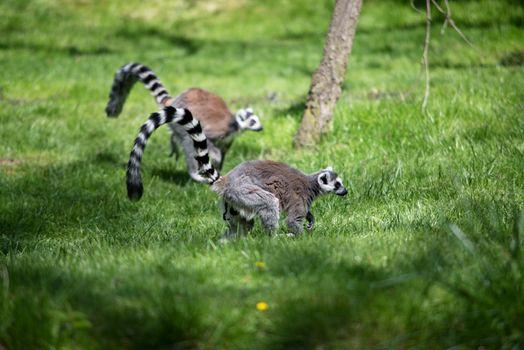 Lemur in Prague ZOO