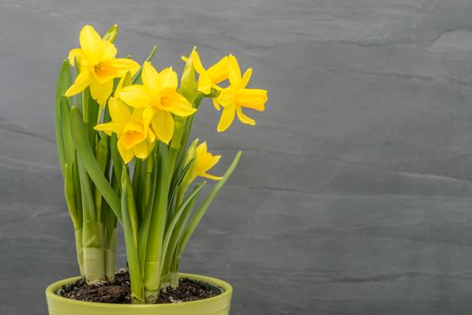 Daffodils on Gray Background