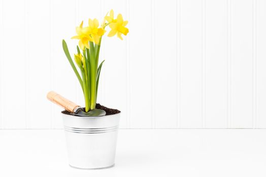 Clump of Daffodils