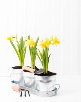 Daffodil Planter Portrait