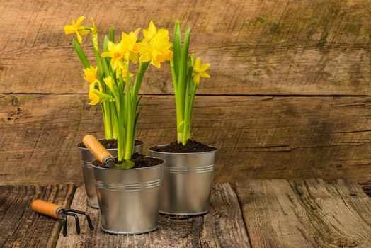 Daffodils on Rustic Background