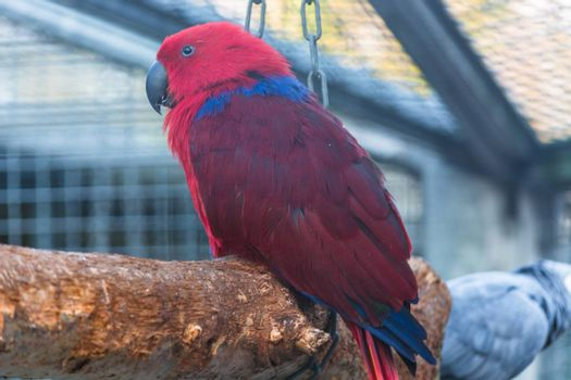Parrot with a red and blue plumage.