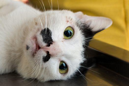Veterinary surgeon neutering a cat