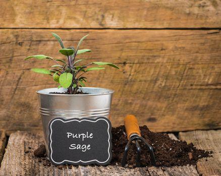 Herbs-Purple Sage