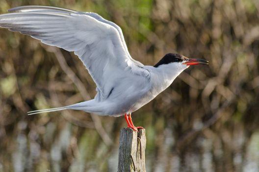 Tern is a waterfowl bird, the Seagull