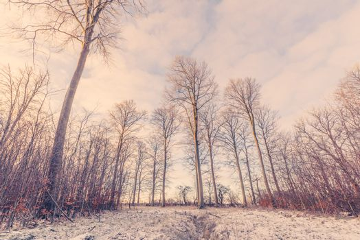 Forest landscape with tall trees at wintertime