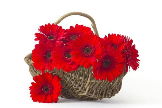 red gerbera flowers in a basket on white background