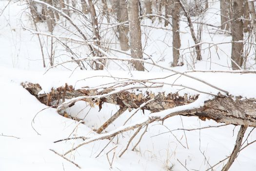 Fallen tree covered in snow mid winter