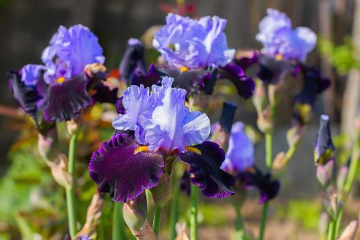 Irises (lat. Íris) flowerbed flowers, perennial, spring flower, soft focus