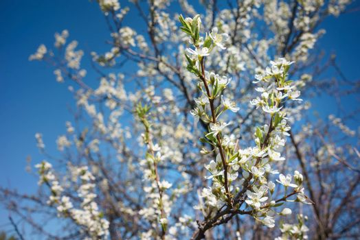 Flowers of the cherry blossoms on a spring day with blue sky background