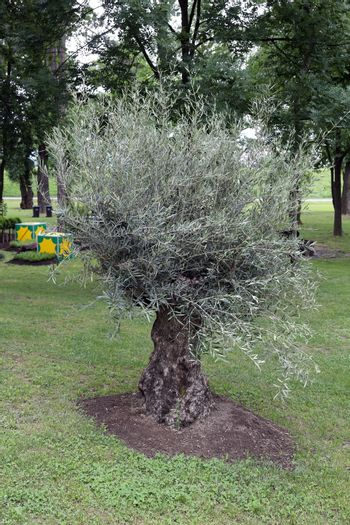 Olive tree exposed on Floraart, 49 international garden exhibition in Zagreb, Croatia, on May 30, 2014.