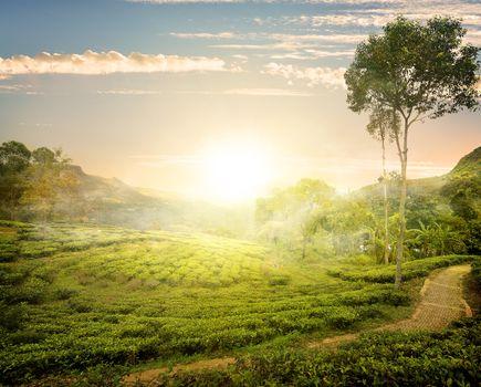 Fog and tea field