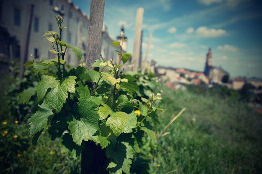vineyard in Kutna Hora