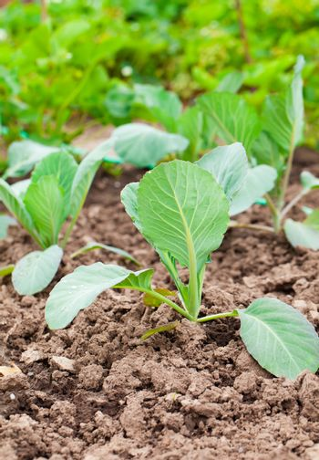 planting cabbage seedling in the vegetable garden