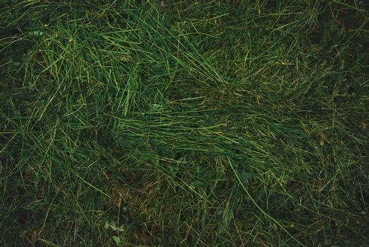Texture of freshly mown grass lawn