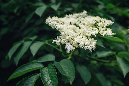 Blooming elder plant tree