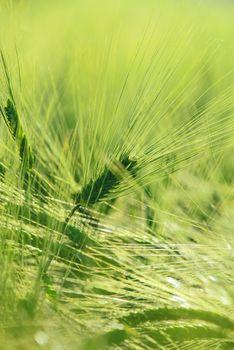 Green barley ears selective focus