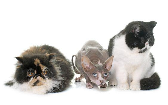 three purebred cats
