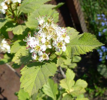 Hawthorn, Crataegus monogyna branch with flowers