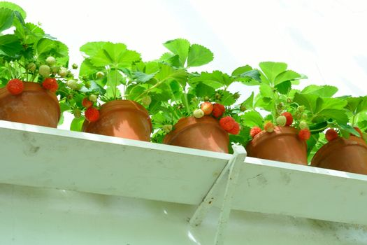 Row of Strawberry plants in Pots