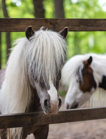 thoroughbred ponies in the paddock