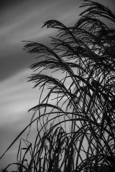 Strå mot himmelen i svart/hvitt.