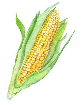 Watercolor Corn Painting
