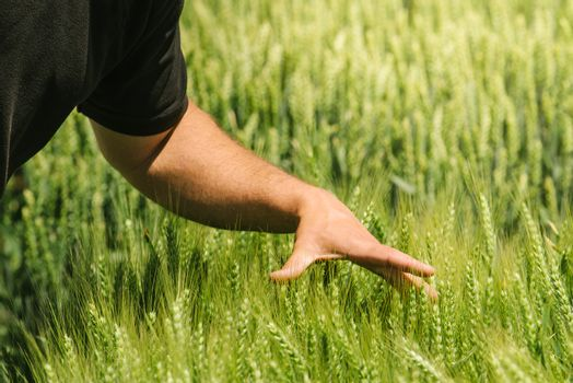 Hand in wheat field, crops growth control