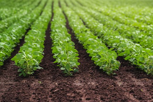 Rows of cultivated soy bean crops