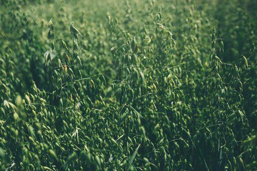 Oat field detail