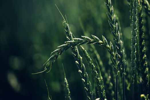 Green spelt wheat crops growing in cultivated field