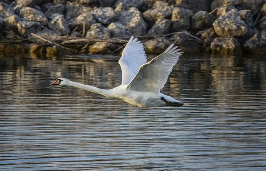 Mute swan, cygnus olor, flying