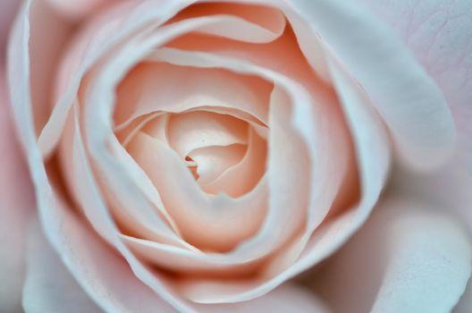 Softness pink rose on pink background