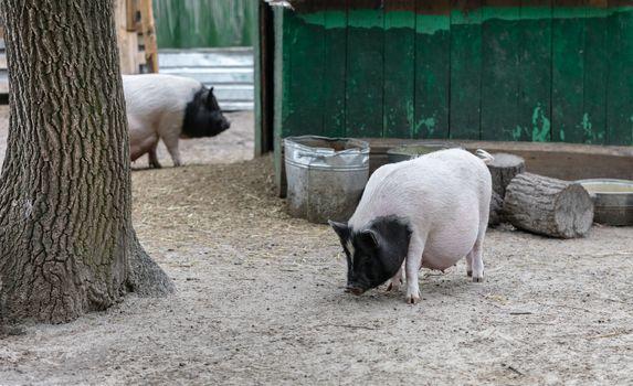 Vietnamese pigs are grazed