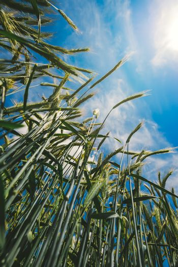 Low angle view of barley straws in cultivated field