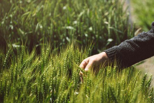 Male hand in wheat field, farmer examining wheat ears