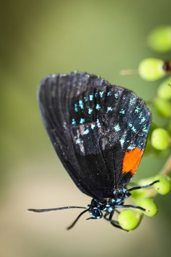 A colorful Eumaeus Atala butterfly sitting on green leaves.